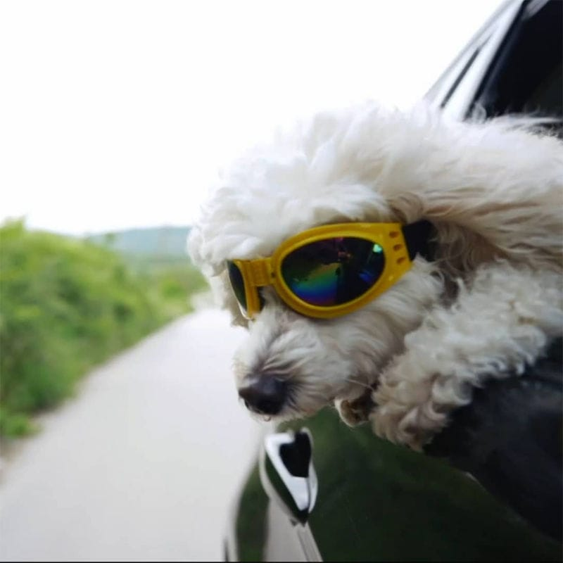 Dog with Goggles on With Head out of moving window